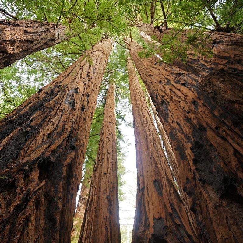 1200px-Sequoia_sempervirens_Big_Basin_Redwoods_State_Park_4 Cropped